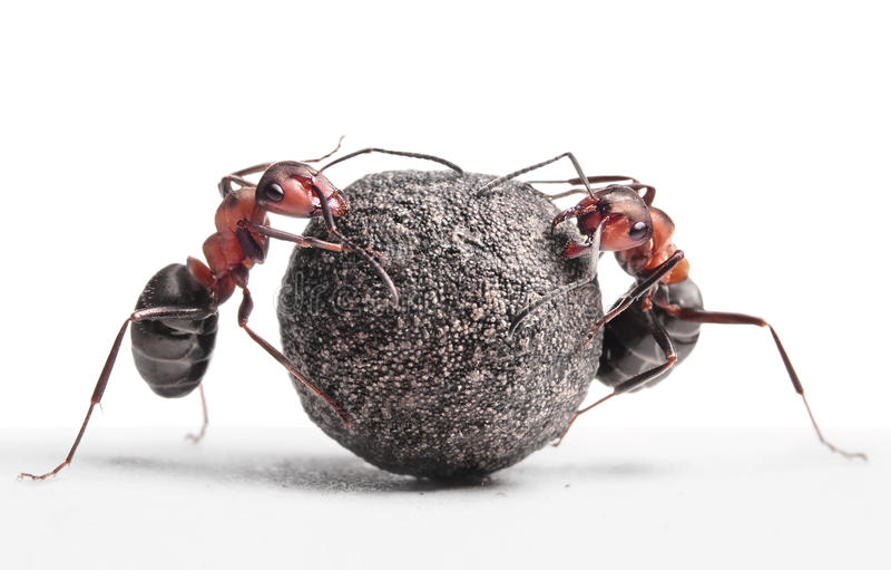 Twee mieren die steen rollen stock afbeeldingen