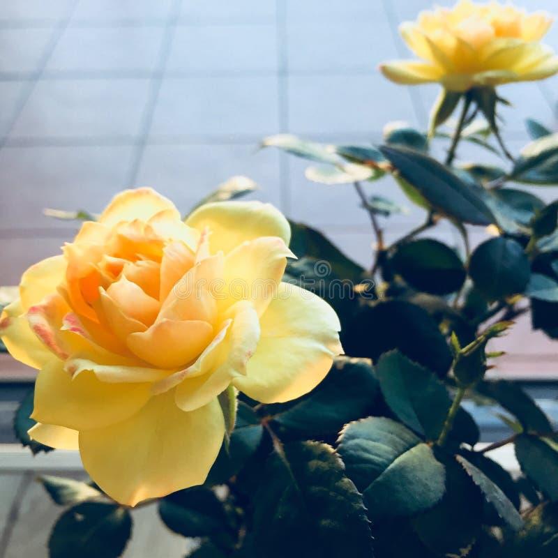 Twee mini gele rozen in volledige bloei royalty-vrije stock afbeelding
