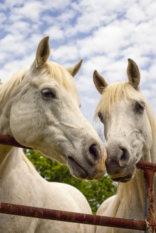 Twee mooie Arabische paardenneus aan neus royalty-vrije stock afbeelding