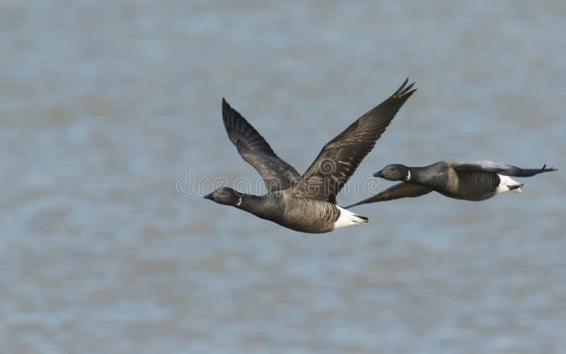 Twee mooie Brent Geese Branta bernicla die over het overzees at high tide in Kent, het UK vliegen stock foto