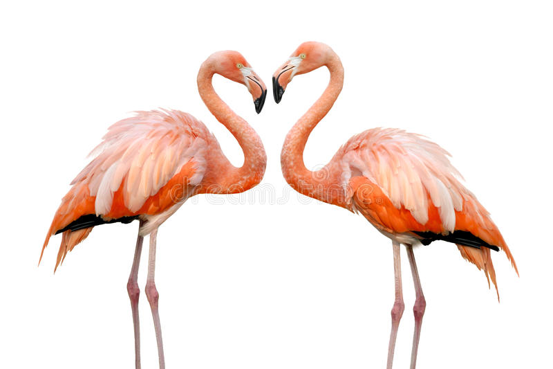 Twee mooie flamingo's in liefde royalty-vrije stock fotografie