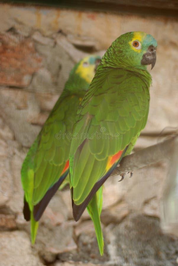 Twee mooie groene papegaaien royalty-vrije stock fotografie