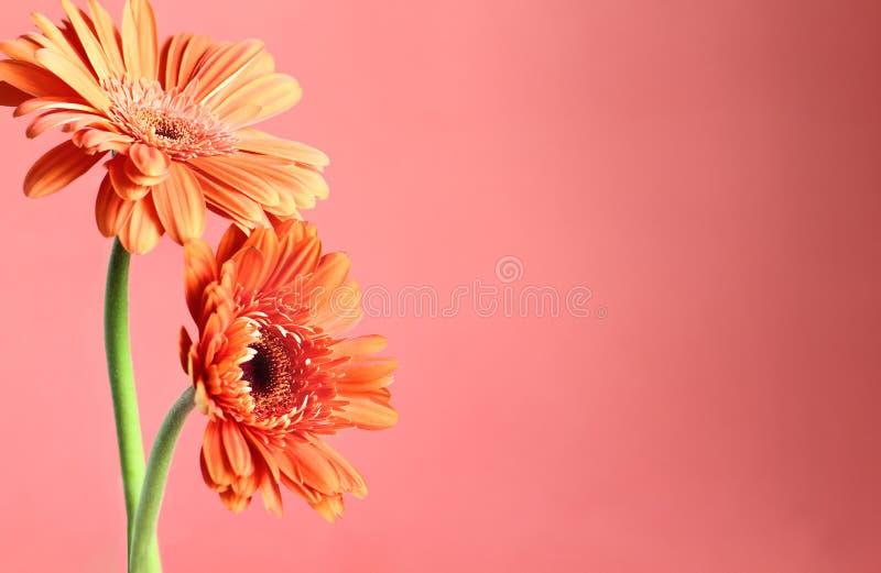 Twee mooie Oranje Gerbera Daisies tegen koraal gekleurde achtergrond royalty-vrije stock fotografie