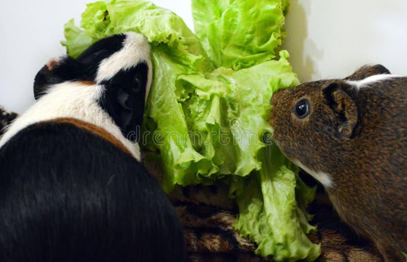 twee mooie proefkonijnen die verse greens eten royalty-vrije stock fotografie
