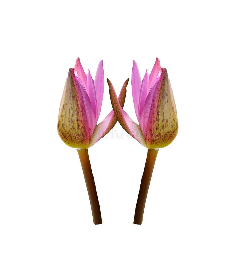 Twee mooie roze lotusbloembloem die op witte achtergronden, waterlelie wordt geïsoleerd royalty-vrije stock foto's