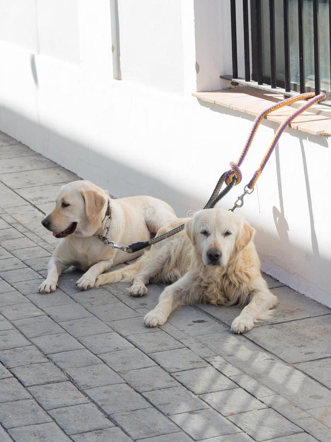 Twee mooie slimme witte honden royalty-vrije stock afbeeldingen