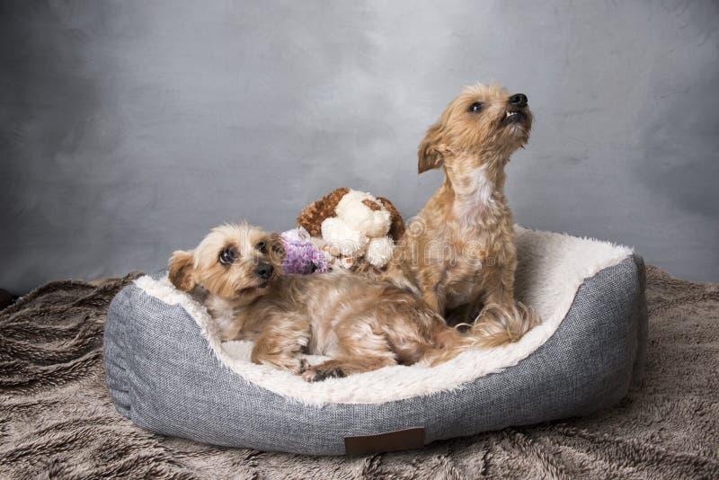 Twee mooie terriers die van Yorkshire in hun mand leggen royalty-vrije stock afbeeldingen