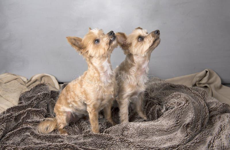 Twee mooie terriers van Yorkshire royalty-vrije stock fotografie