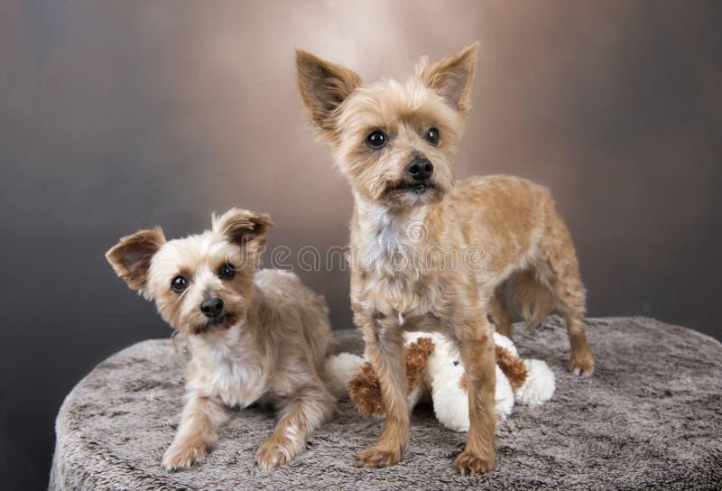Twee mooie terriers van Yorkshire royalty-vrije stock foto