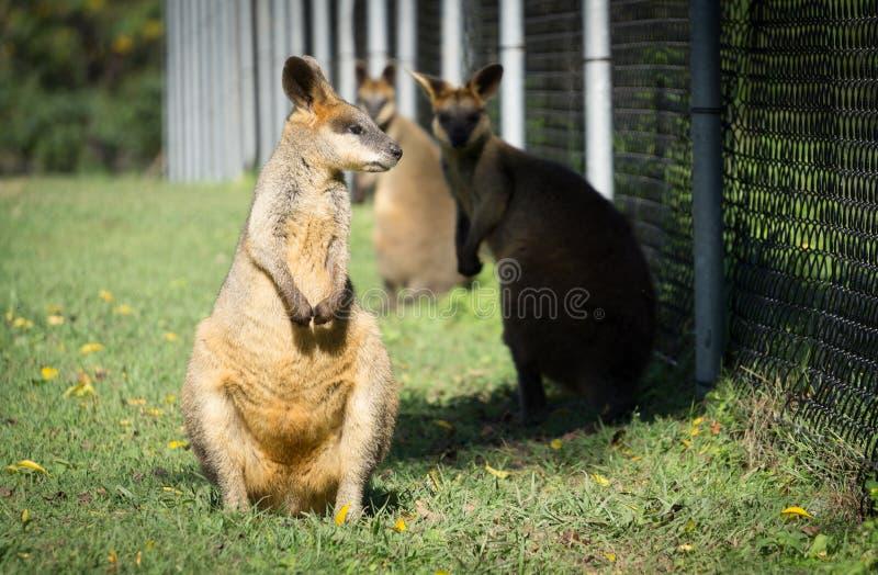Twee mooie wallabys bij de dierentuin, Brisbane, Australië stock fotografie