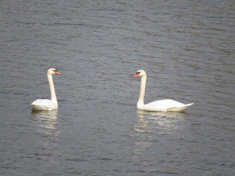 Twee mooie witte zwanen die op de rivier zwemmen stock afbeelding