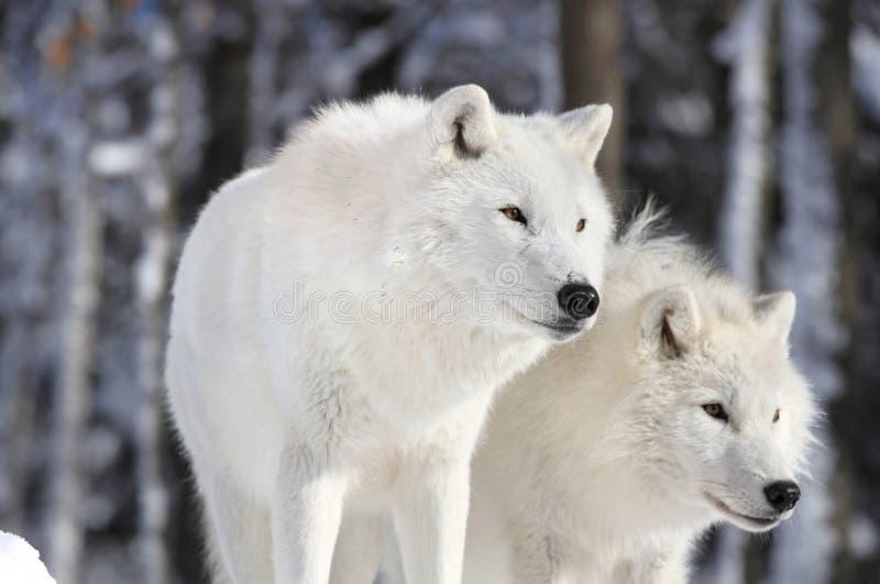 Twee mooie wolven stock foto's