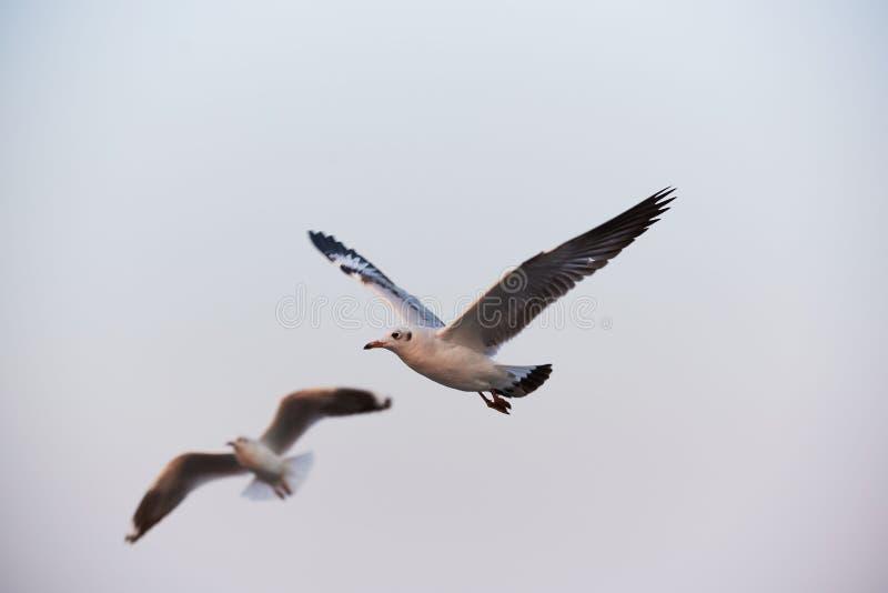Twee mooie zeemeeuwen die op blauwe hemelachtergrond vliegen royalty-vrije stock fotografie