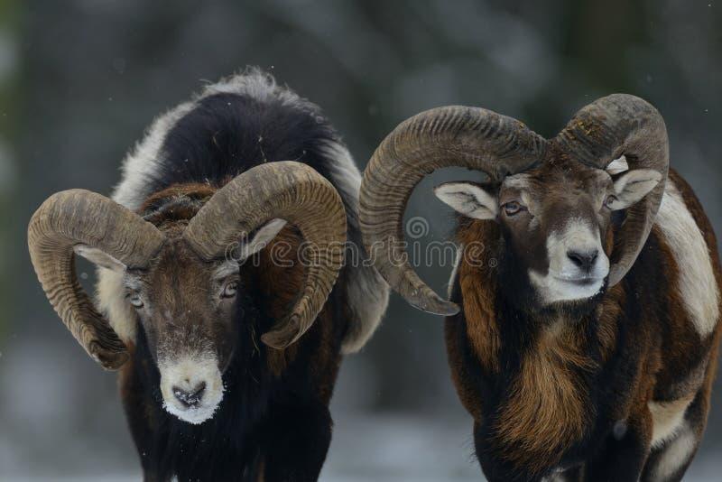 Twee mouflonmannetje in de winter stock foto