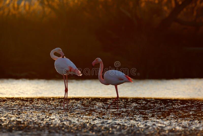 Twee Nice roze grote vogel Grotere Flamingo, Phoenicopterus ruber, in het water, met avondzon, Camargue, Frankrijk Het wildscène  stock afbeeldingen