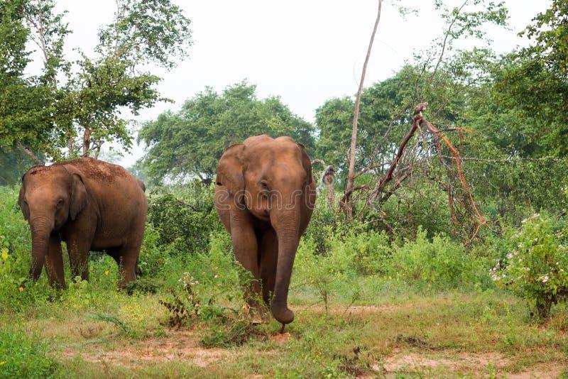 Twee nieuwsgierige Olifanten binnen het udawalawe nationale park, Sri Lanka royalty-vrije stock afbeeldingen