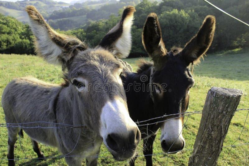 Twee nieuwsgierige Spaanse ezels op een weide stock foto's