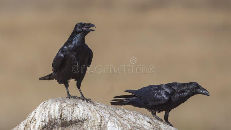 Twee Noordelijke Raven op Rots royalty-vrije stock afbeelding
