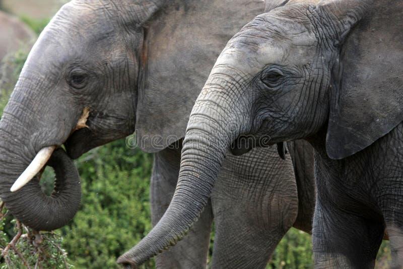 Twee olifanten die in addopark voeden, Zuid-Afrika royalty-vrije stock foto's