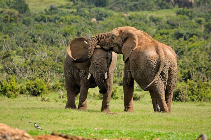 Twee Olifanten die, het Nationale park van de Olifant Addo, Zuiden Afric vechten royalty-vrije stock foto's