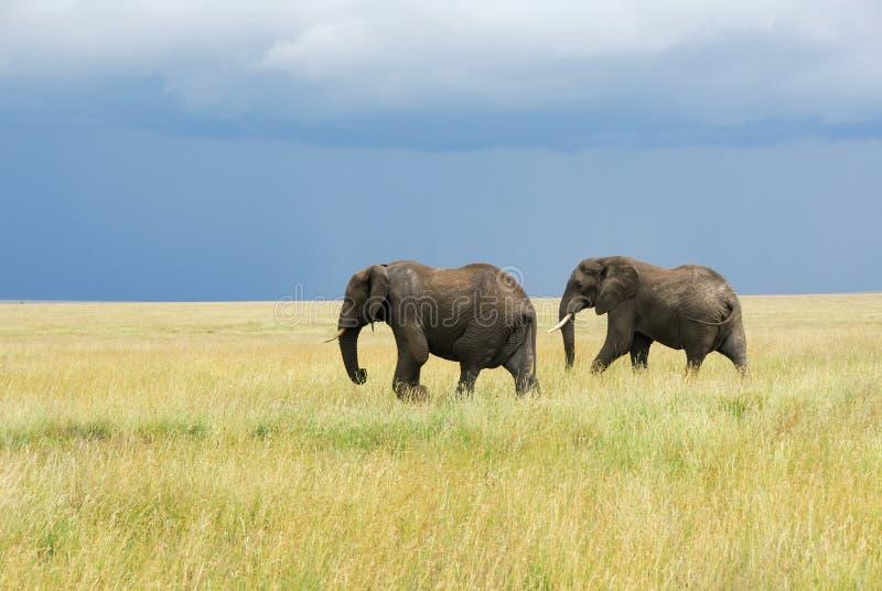 Twee olifanten die in savanne lopen stock afbeeldingen