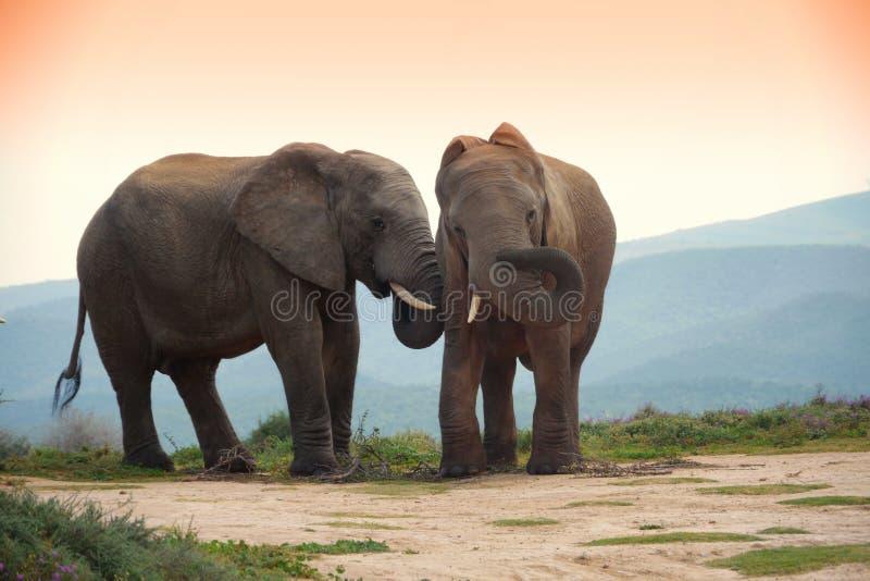 Twee olifanten in het park van de addoolifant, Zuid-Afrika stock afbeelding