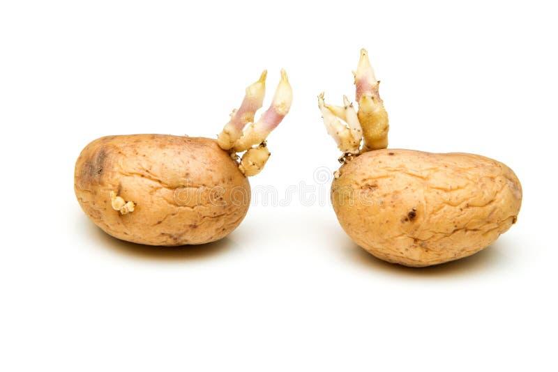 Twee ontkiemende aardappels met enten royalty-vrije stock afbeelding