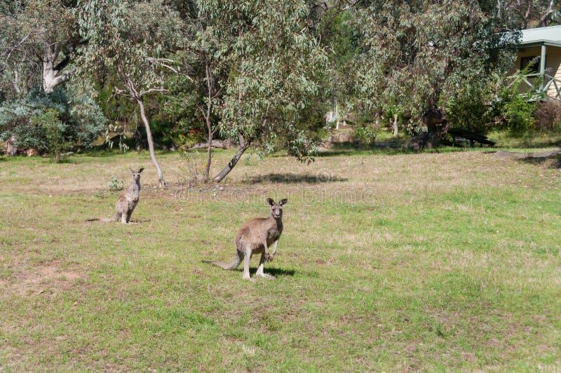 Twee Oostelijk Grey Kangaroos in de wildernis stock foto's