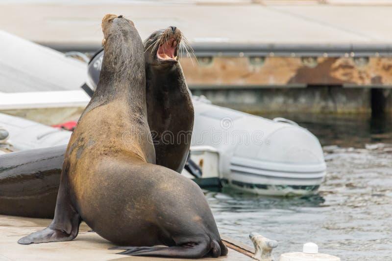 Twee open zeeleeuwenmonden eisend hun vlek stock fotografie