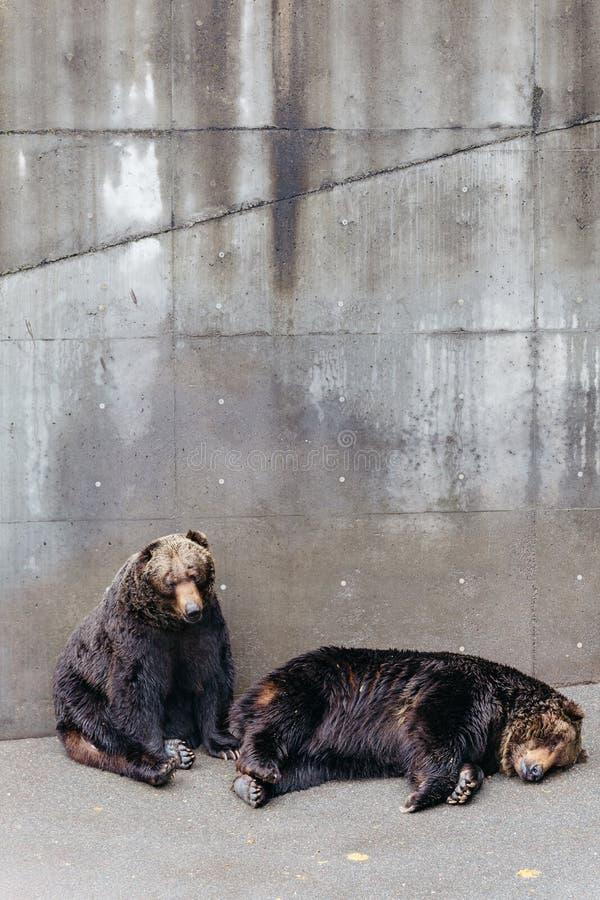 Twee opgeheven bruin draagt slaap op de concrete grond op dierlijk gebied in Noboribetsu draagt Park in Hokkaido, Japan stock foto