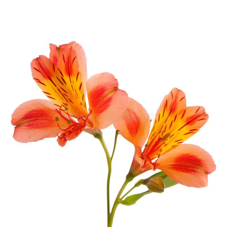 Twee oranje die Alstroemeria-bloemen op witte achtergrond worden geïsoleerd stock afbeelding