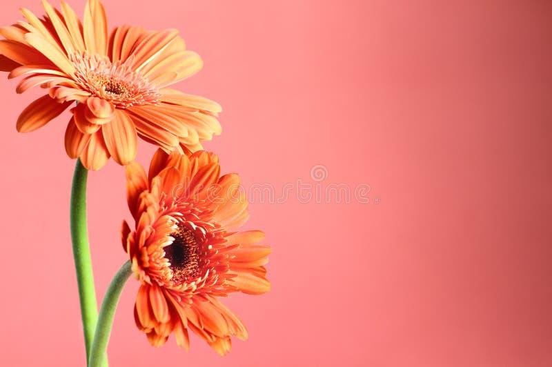 Twee Oranje Gerbera-Madeliefjes tegen Coral Colored Background stock fotografie