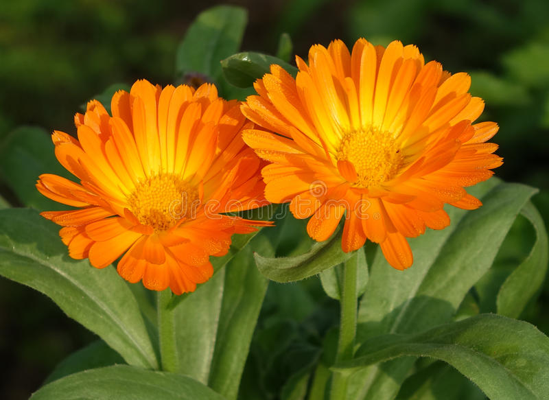 Twee Oranje gerberamadeliefje royalty-vrije stock fotografie