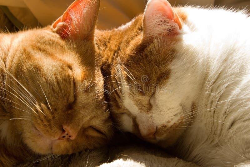 Twee oranje gestreepte katkatten die met hun hoofden samen slapen stock afbeeldingen