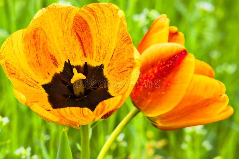 Twee oranje tulpenclose-up royalty-vrije stock afbeeldingen