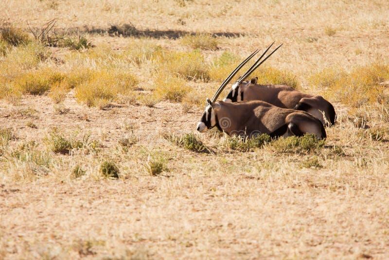 Twee Oryx die in de woestijn Kgalagadi liggen royalty-vrije stock foto's