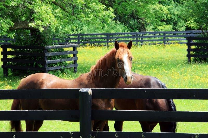 Twee Paarden royalty-vrije stock foto