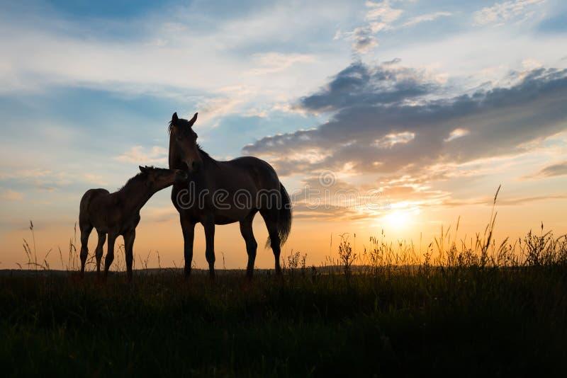 Twee paarden bij zonsondergang stock foto's