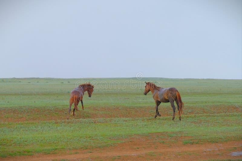 Twee paarden in de steppe stock afbeelding