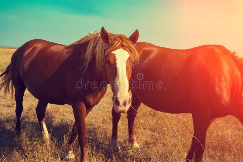 Twee paarden die in de weide weiden stock fotografie