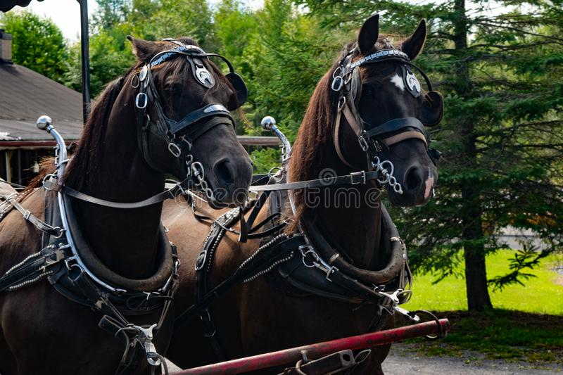 Twee paarden die een paard trekken stock foto