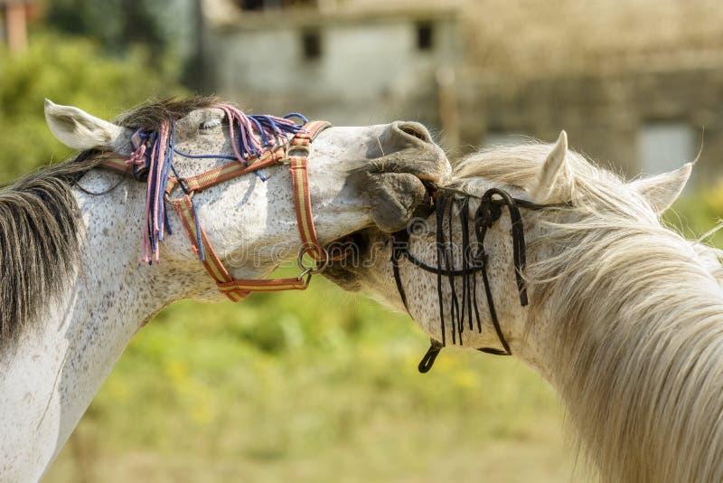 Twee paarden die met hun teugels spelen stock foto