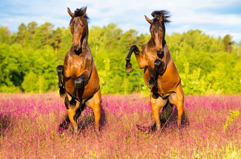 Twee paarden die omhoog op de roze bloemenweide grootbrengen royalty-vrije stock afbeeldingen