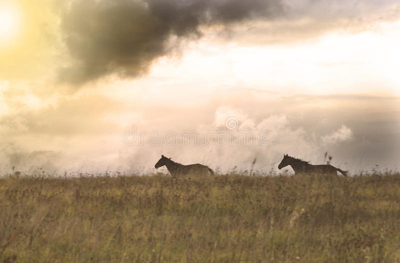 Twee paarden die op een gebied, Litouwen lopen royalty-vrije stock afbeeldingen