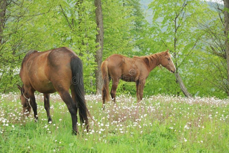 Twee paarden die op een groen gebied 002 weiden royalty-vrije stock foto's