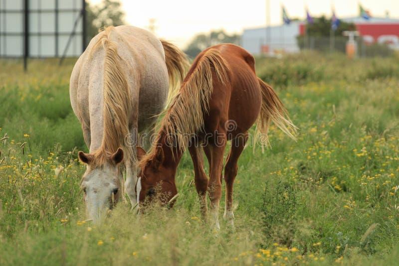 Twee paarden die samen in een weiland weiden stock afbeeldingen