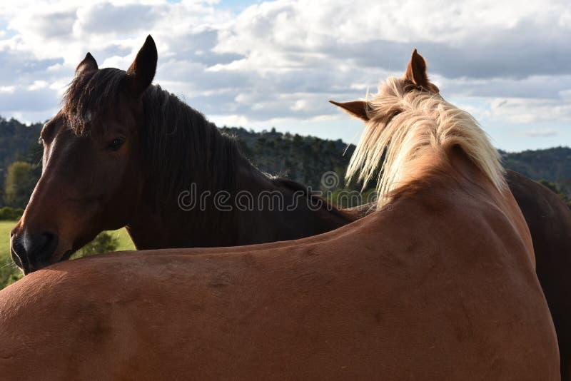 Twee paarden die vertrouwdheid uitdrukken stock afbeeldingen