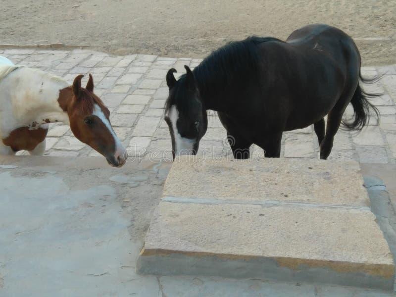Twee paarden die zich door elkaar bevinden stock fotografie
