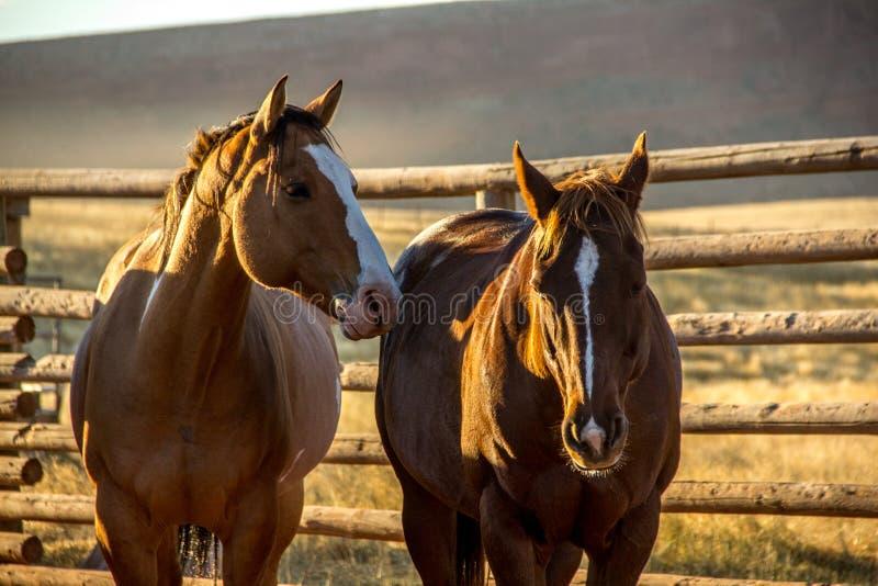 Twee paarden in drijven bijeen royalty-vrije stock foto