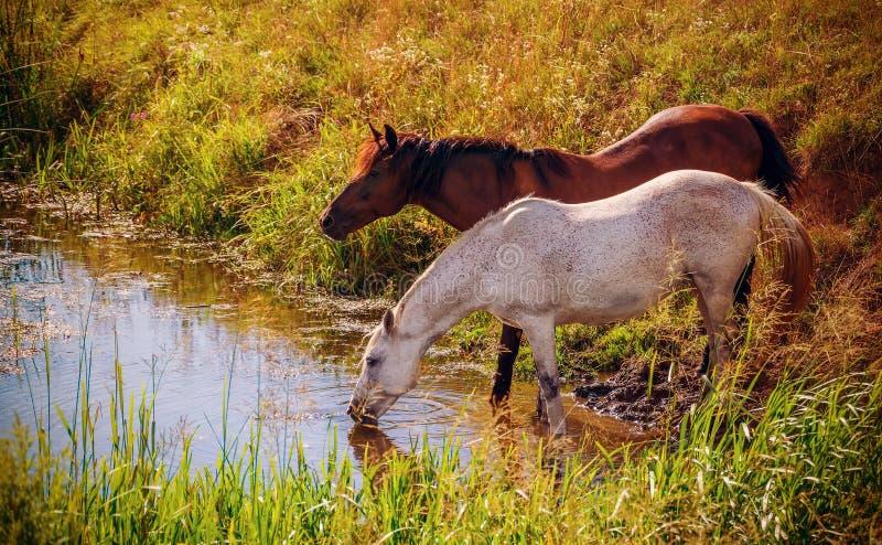 Twee paarden drinkwater van de kreek stock afbeelding